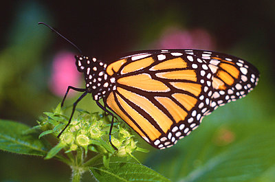 Monarch butterfly - p7570008 by Mimi Forsyth