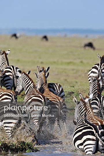 Zebras auf der Flucht - p533m982466 von Böhm Monika