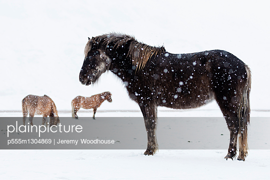 Icelandic horses in snowing field