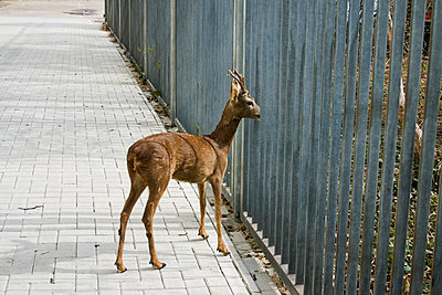 Lost roebuck in town - p1385m1424410 by Beatrice Jansen