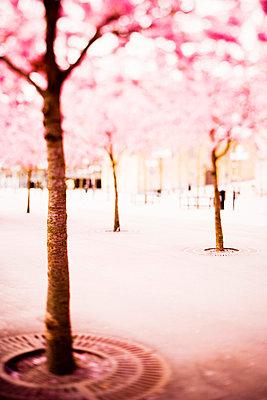 Cherry-tree Kungsträdgården Stockholm Sweden. - p31217297f by Peter Rutherhagen
