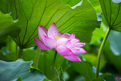 Lotus flower in front of leaves - p1183m997712 by Schindler, Martina