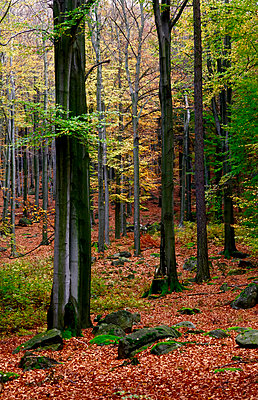 Germany, forest in autumn - p300m1535276 by Thomas Jäger