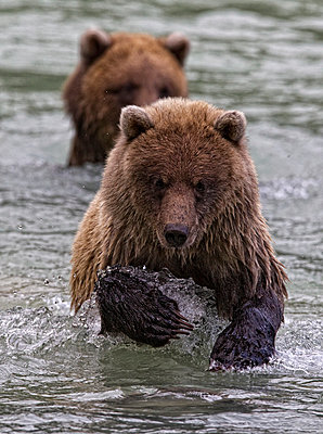 Grizzly Bear Cubs Fishing In River - p442m883751 by Robert Postma
