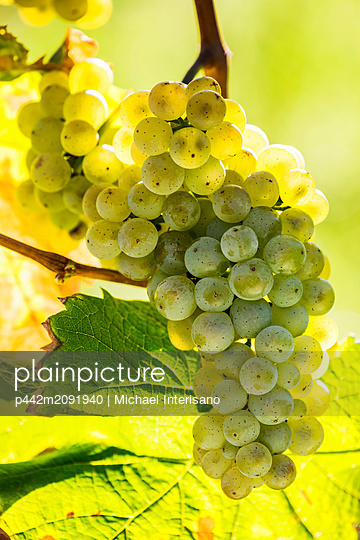 Close-up of a cluster of white grapes hanging from a vine and backlit by sunlight; Piesport, Germany - p442m2091940 by Michael Interisano