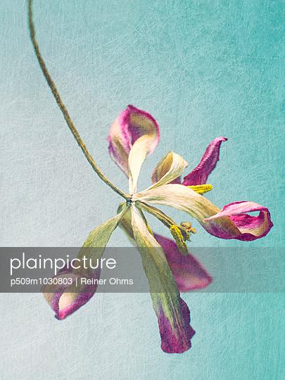 Verwelkte Tulpe - p509m1030803 von Reiner Ohms
