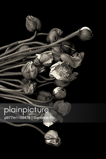 Bunch of poppies on black background - p977m1159478 by Sandrine Pic