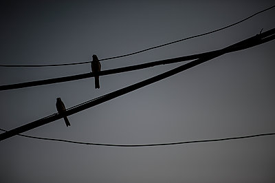 Birds on electric wire - p1007m1144373 by Tilby Vattard