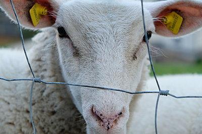 Sheep - p1229m2026092 by noa-mar