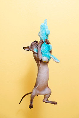 Sphynx kitten jumps and hugs turquoise soft toy rabbit - p1166m2095066 by Cavan Images