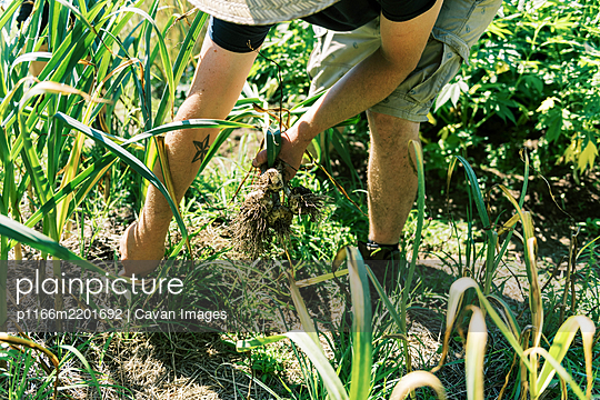 Close up of a man pulling his garlic from the ground - p1166m2201692 by Cavan Images