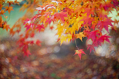 Abstract maple leaves with bokeh in the background - p1166m2095491 by Cavan Images