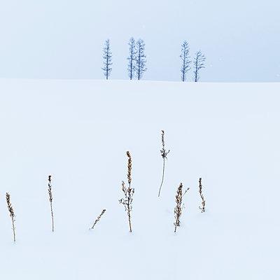 Trees in the snow at Mild Seven hills, Biei, Hokkaido, Japan - p1166m2108027 by Cavan Images