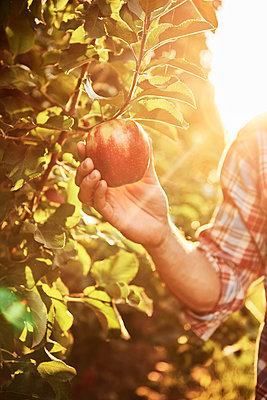 Hand plucking apple from a tree - p300m2166124 von gpointstudio