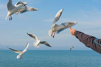 Germany, Mecklenburg-Western Pomerania, Ruegen, man feeding seagulls - p300m926573f by Jana Mänz