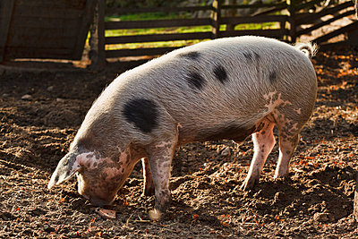 Pig with dots - p3240429 by Alexander Sommer