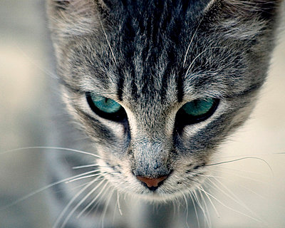 Portrait of a cat with blue eyes - p1072m829098 by Kevin Mallia