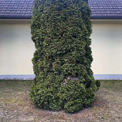 Conifer in front of a house - p1401m2258562 by Jens Goldbeck