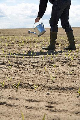 Maispflanzen - p4640407 von Elektrons 08