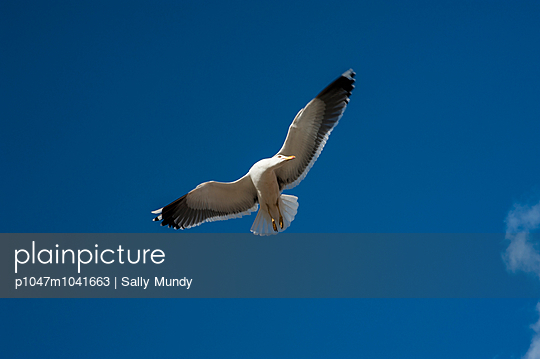 Single gull in flight against a blue sky - p1047m1041663 by Sally Mundy