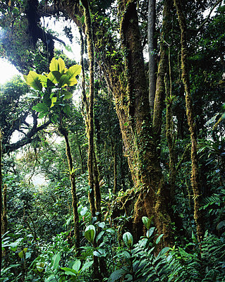 Rainforest on Costa Rica - p1016m792574 by Jochen Knobloch