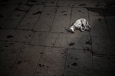 White dog sleeping on the floor - p1007m1144367 by Tilby Vattard