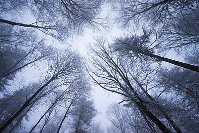 Baumwipfel im Winter - p1180m987606 von chillagano