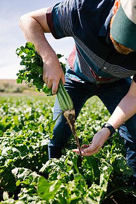 Man harvesting vegetable in crop field - p1427m2128238 by Jessica Peterson