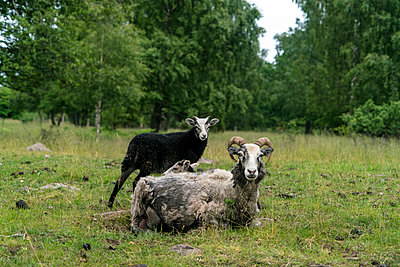 Sheeps in a farm in Gränso, Sweden - p1332m1488433 by Tamboly