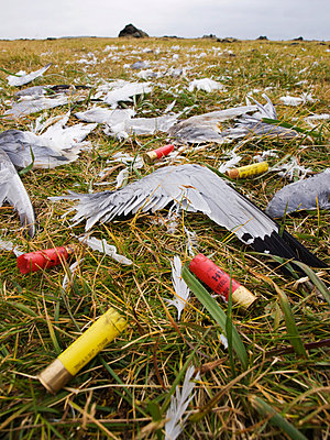 Close Up Of Kittiwake Wings And Shotgun Shells Left On Ground By Hunters, St. Paul Island, Southwest Alaska, Summer - p442m838017 by John Gibbens