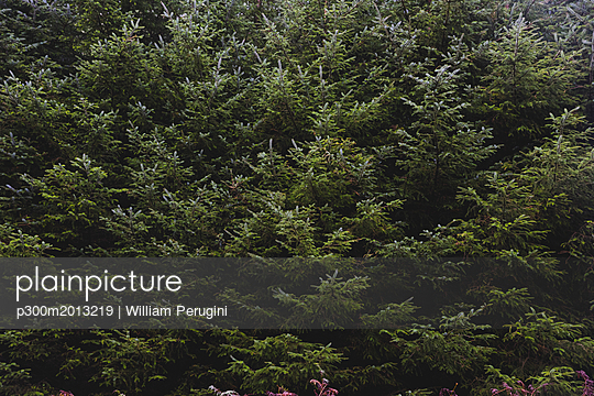 United Kingdom, England, Cumbria, Lake District, fir trees, close up - p300m2013219 von William Perugini