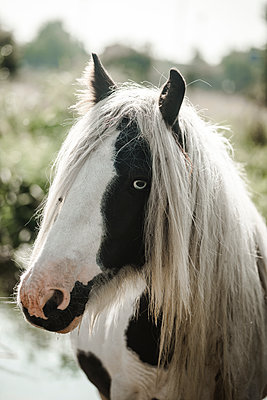 Black and white horse with a long white mane - p1628m2209900 by Lorraine Fitch