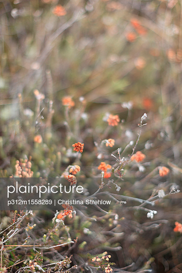 Close-up of orange wildflowers - p312m1558289 by Christina Strehlow