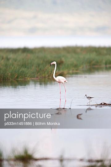 Stolzer Flamingo - p533m1451886 von Böhm Monika