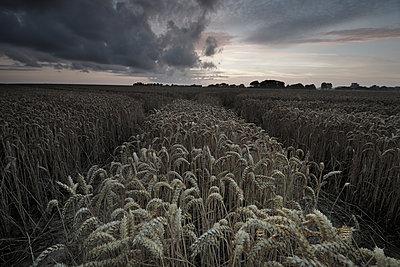 Cornfield at twilight - p1137m1154988 by Yann Grancher