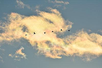 Vor einer in der Abensonne glühenden Wolke fliegt eine Reihe Wildgänse - p235m2021762 von KuS