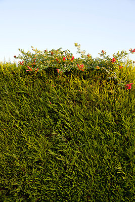 Top of hedge with flowers - p388m877179 by Ulrike Leyens