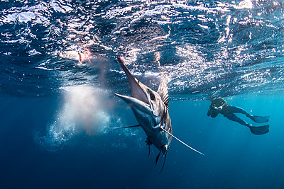Striped marlin hunting mackerel and sardines, photographed by diver - p429m2068813 by Rodrigo Friscione