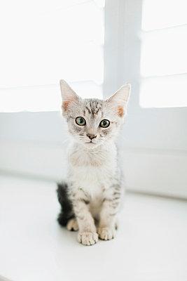 Tabby kitten sitting by door - p924m937049f by Grace Chon