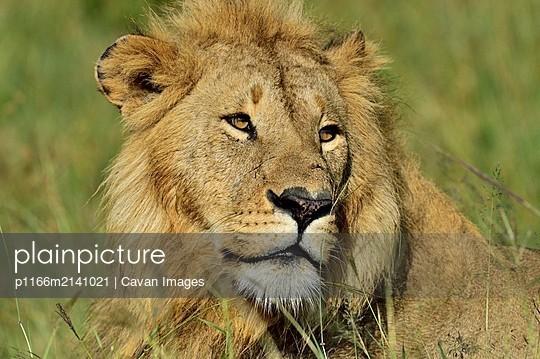 Beautiful male lion - p1166m2141021 by Cavan Images