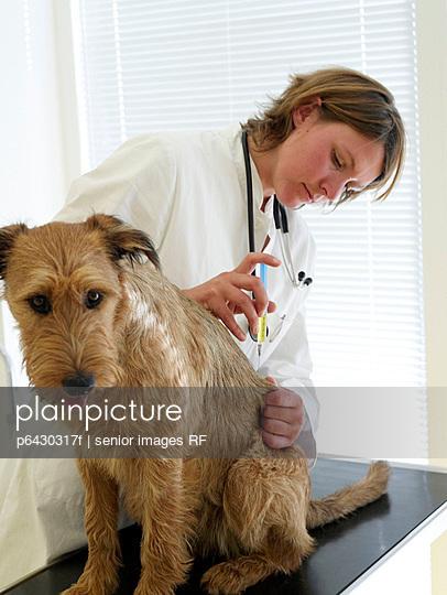Hund bekommt Spritze  - p6430317f von senior images RF