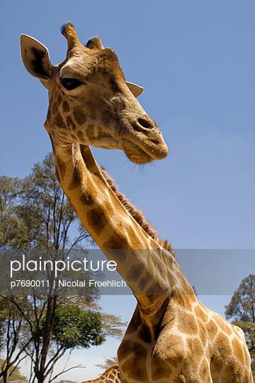 Masai Giraffe - p7690011 von Nicolai Froehlich