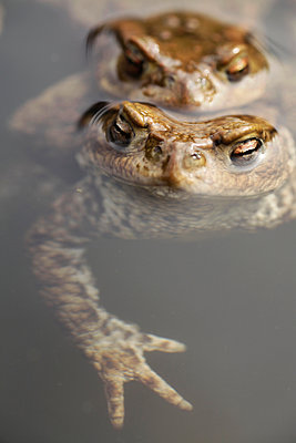 Common Toad - p1144m967250 by Els Branderhorst