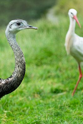 Emu und Storch - p427m1467446 von R. Mohr