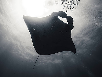 Low angle view of stingray swimming in sea - p1166m1414697 by Cavan Images