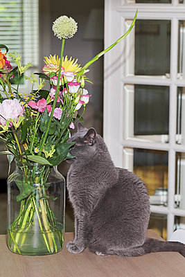 British shorthair cat on a table with a bouquet of flowers  - p1540m2100926 by Marie Tercafs