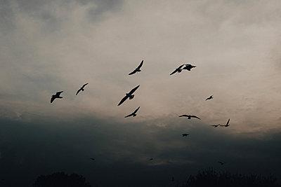 Flock of wild birds in the grey sky - p1681m2263259 by Juan Alfonso Solis