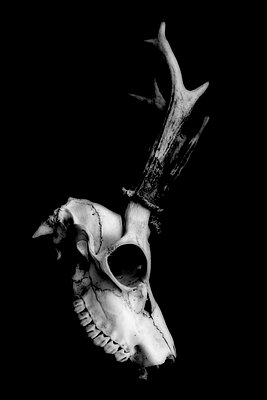 Animal skull - p450m1128453 by Hanka Steidle