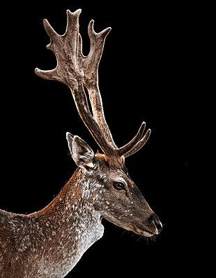 Deer - p803m2270217 by Thomas Balzer