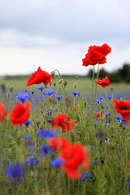Wild flowers on a meadow - p0452735 by Jasmin Sander